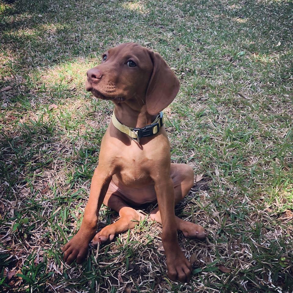 #viszladogtraining #puppytrainingcharleston #dogtraningnearme