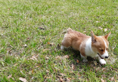 #corgidogtraining #bestpuppydogtrainig