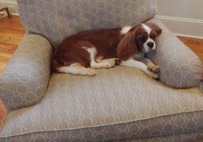 #kingcavalierdogtraining