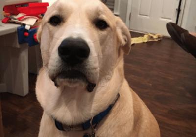 #labradordogtraining
